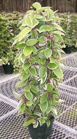 Hoya carnosa-varigeated-809