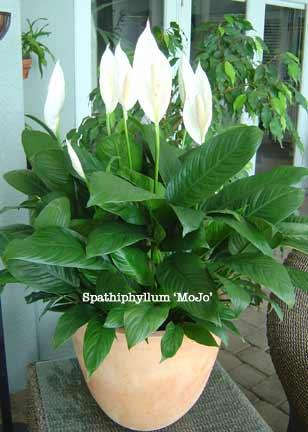 spathiphyllum-mojo